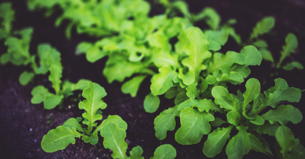 is pressure treated wood safe for vegetable gardens?